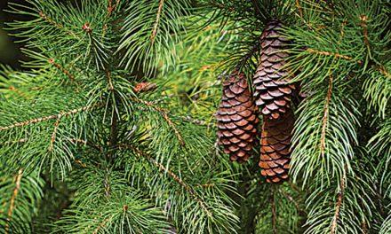 Disponíveis  pinheiros naturais  para decorar o Natal