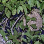 Desde janeiro, foram destruídos 150 ninhos de vespa asiática em Santo Tirso e Trofa