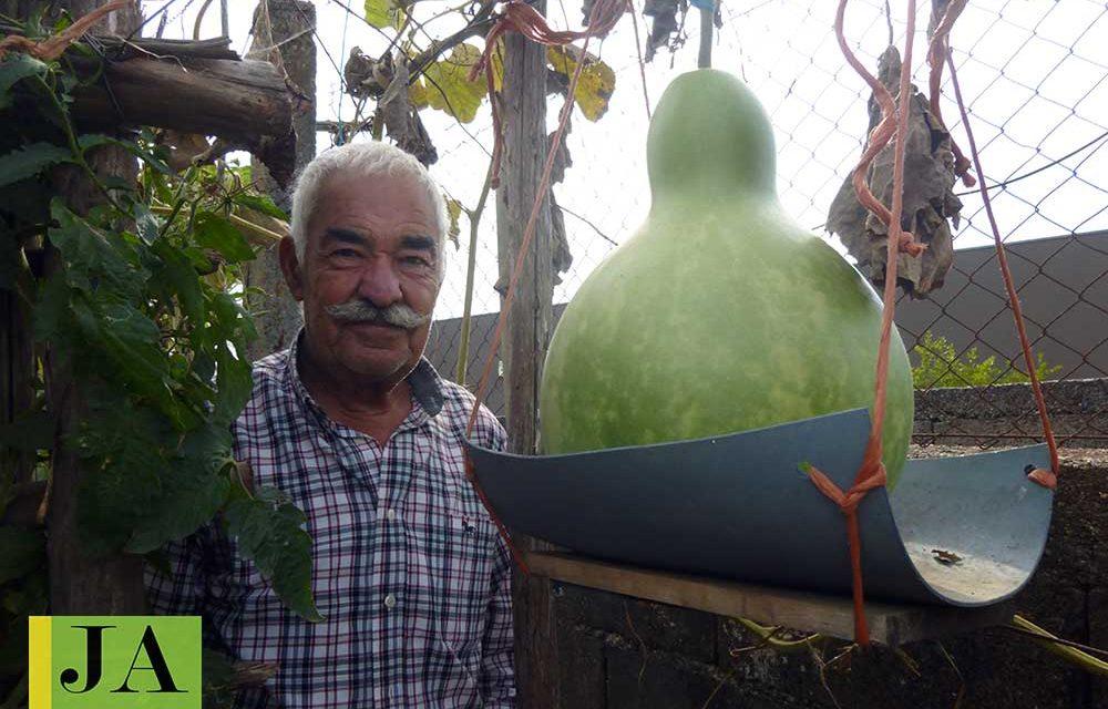 Abóboras e cabaças gigantes crescem na Agrela