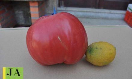 Há tomates gigantes na Trofa