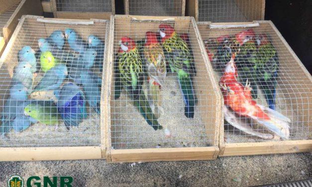GNR apreende aves a homem de Famalicão