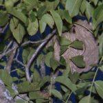 Video▶  1800 ninhos de vespa asiática eliminados em Santo Tirso